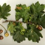 About Oak Tree in Hindi