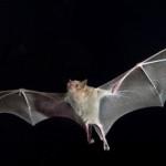 Bats Facts in Hindi :  चमगादड़ो से संबंधित 32 रोचक तथ्य