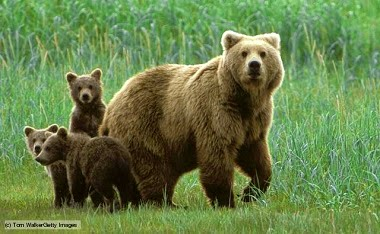Bears Facts in Hindi