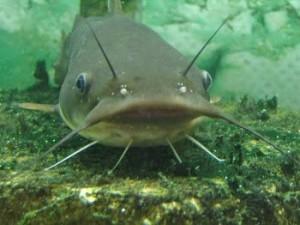 catfish in hindi