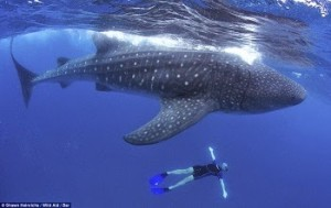 gaintwhaleshark in hindi