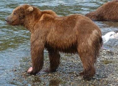 legs of bear in hindi