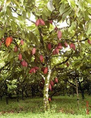 chocolate tree hindi