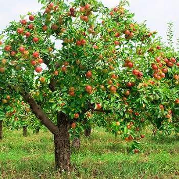 tree of apple in hindi