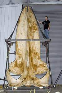blue whale ki jankari