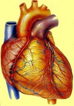 heart in hindi