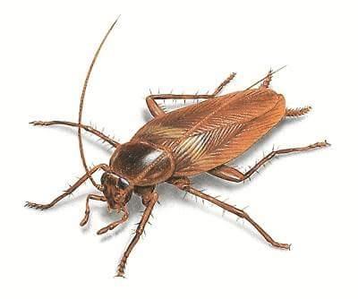 cockroach in hindi