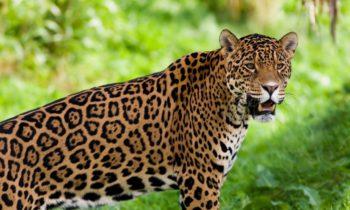 jaguar in hindi