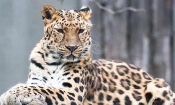 leopard in hindi