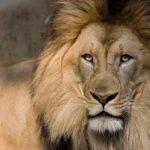 शेर से जुड़ी यह 7 बातें आपको शेरों का पूरा जानकार बना देंगी