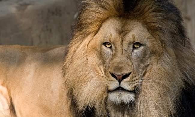 शेर lion informaiton in hindi