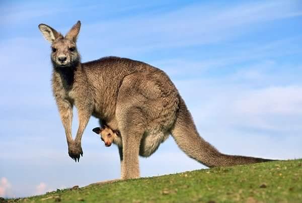 कंगारू - Kangaroo in Hindi