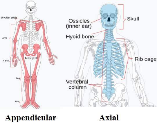 bone in hindi