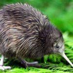 कीवी पक्षी के बारे में 20 रोचक तथ्य | About Kiwi Bird in Hindi