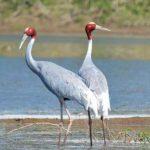 दुनिया का सबसे बड़ा उड़ने वाला पक्षी सारस क्रेन | Sarus Crane in Hindi