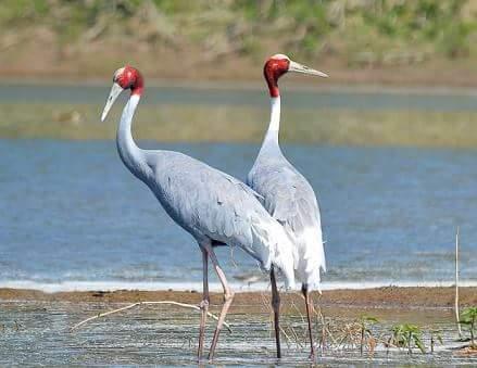 सारस Sarus Crane in Hindi