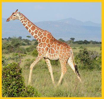 Giraffe in Hindi
