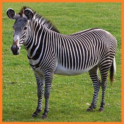 Zebra in Hindi