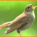 बुलबुल पक्षी से जुड़े 17 मज़ेदार तथ्य | Nightingale in Hindi