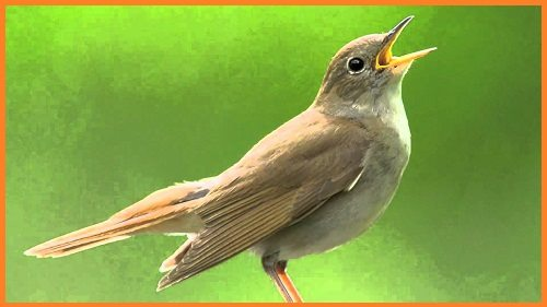 Nightingale in Hindi